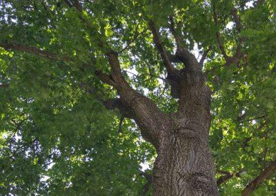 Mature Black Oak Tree