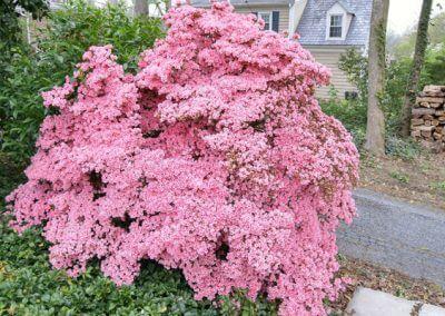 Large Pink Bush