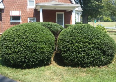 shrubs after trimming