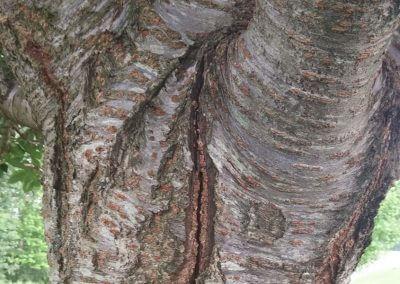 tree stress crack